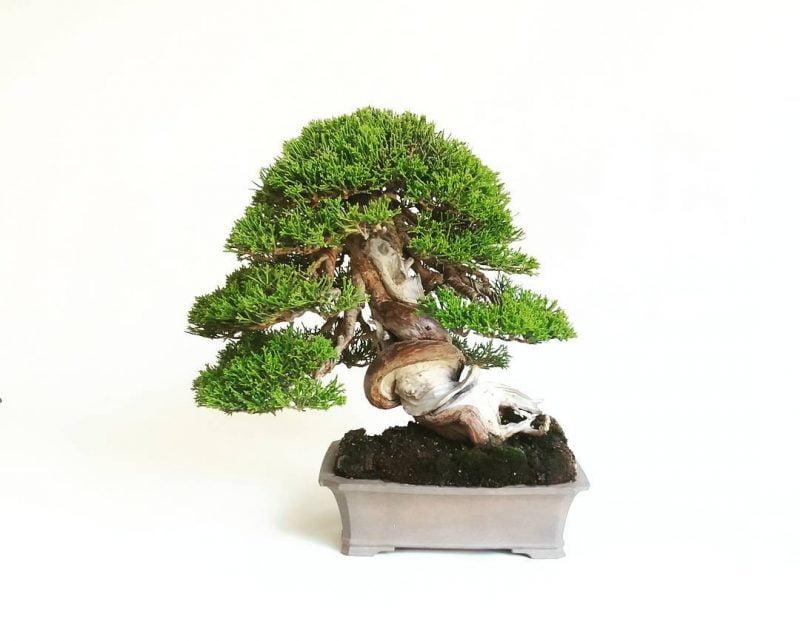 Bonsái Juniperus Itoigawa