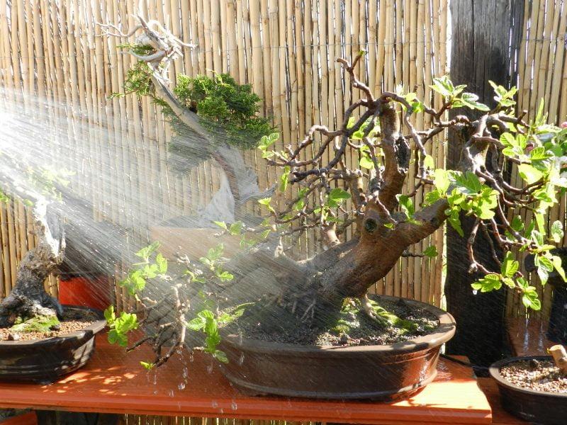 Riego de los bonsáis