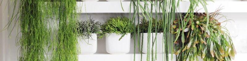 Cuidar planta Rhipsalis
